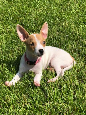 Our 5 month old chi mix puppy Lilly is officially ready to find her forever home As a blind puppy