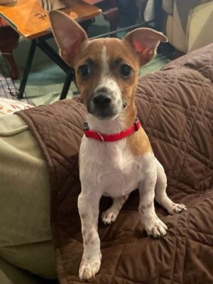 Cute as can be Chip is ready to find his new home This little terrierchi mix boy is about 10