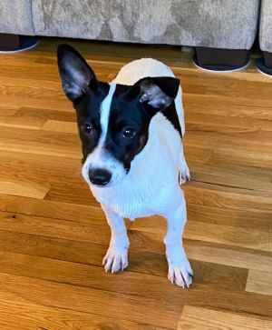 Jackie Oh so fun  Jackie 12 pounds 4 months Jack Russell mix She is happy happy happy Jackie is