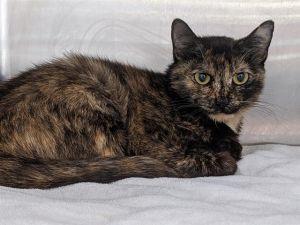 MOMMA CAT *RISA* Domestic Short Hair Cat