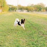 OAKLEY Papillon Dog