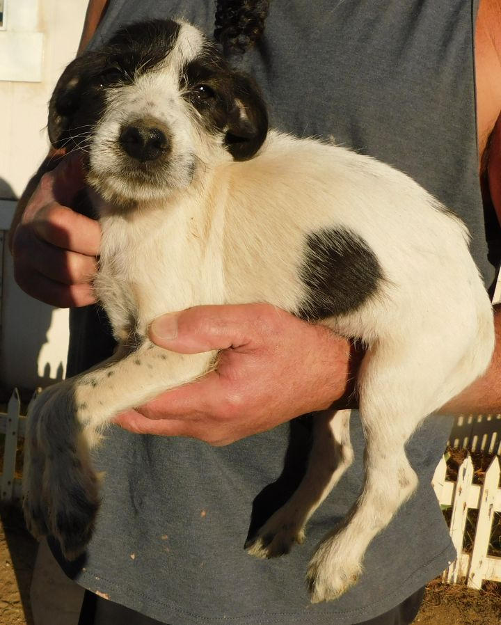 BJ, an adopted Terrier Mix in Corona, CA_image-2