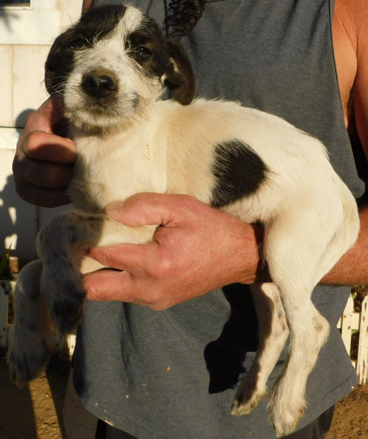 BJ, an adopted Terrier Mix in Corona, CA_image-3