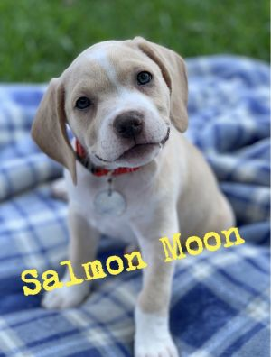 Meet female puppy Salmon Moon born on July 24th Salmon is one of 8 puppies born to Red Collar dog
