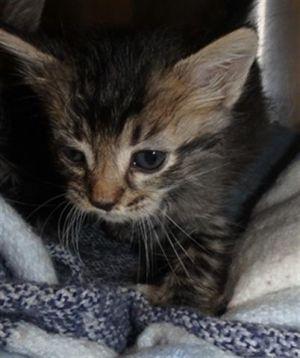 LIBERTY Domestic Medium Hair Cat