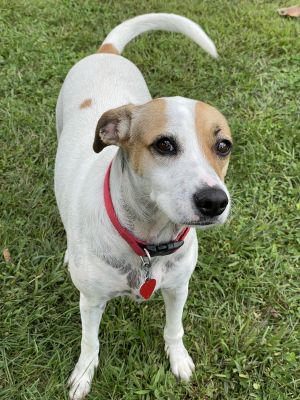 Kesha is a 2-3 year old 40 pound mix from Puerto Rico She has a moderate playful energy level Wil