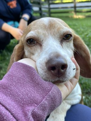 Precious petite beagle lady Eloise is as close to perfect as a dog can get and we dont say that