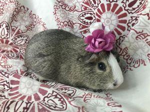 EVY Guinea Pig Small & Furry