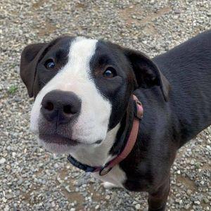 Casey Looks Like Staffordshire terrierLabrador Retriever Mixed Age Puppy Size Medium 27-34ish l