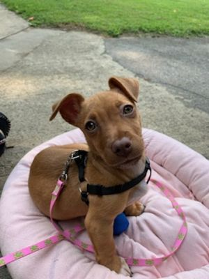 How adorable is our short-legged girl Lorna She is a doll of a puppy - such a wonderful and happy