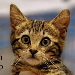 Meet Han Solo an adorable playful friendly 11-week-old male kitten He is not at the shelter but