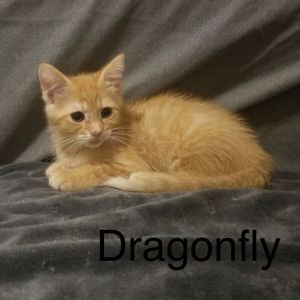 Meet Dragonfly an adorable playful friendly 12-week-old female kitten She is not at the shelter