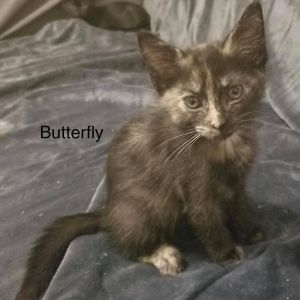 Meet Butterfly an adorable playful friendly 12-week-old female kitten She is not at the shelter