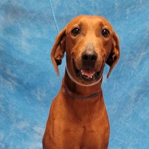 Meet Dolores a 3 year old 52 pound wonderful hound mix She is friendly and gets along with other