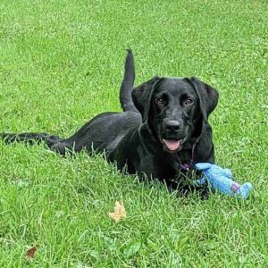Calling all lab lovers This gorgeous girl is Cassie a one-year-old lab mix ready to find her forev