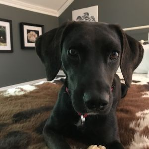 This pretty girl is Carolina She is a 2-year-old labhound mix and weighs just 37 lbs Carolina is
