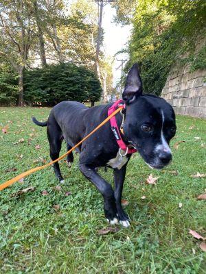 Shelly Pit Bull Terrier Dog