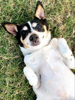 Sugar Terrier Dog