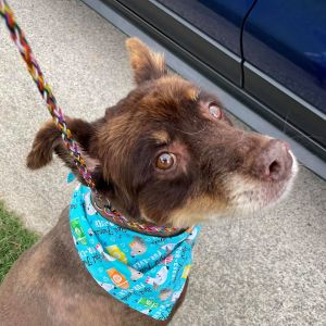 My name is Charco I am a gorgeous Australian Shepherd Mix I weigh about 45 lbs and yes I am