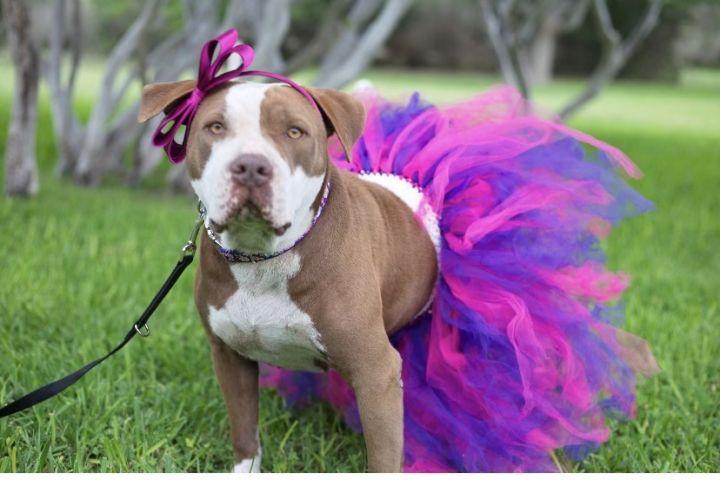 JJ, an adoptable Pit Bull Terrier in Uvalde, TX_image-1