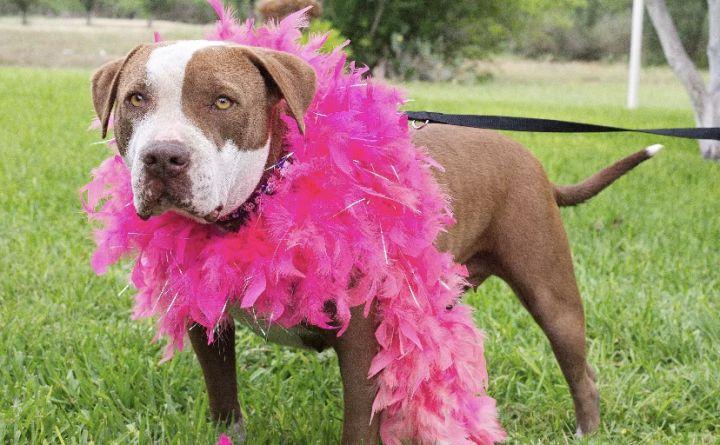 JJ, an adoptable Pit Bull Terrier in Uvalde, TX_image-3
