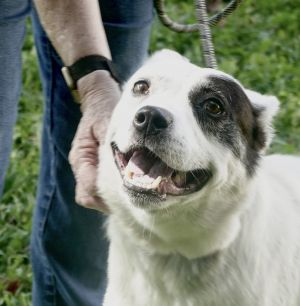 Charlie is an Akita mix about 7 or 8 He wound up at tge shelter when his owner was unable