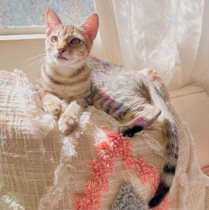 Gracie (bonded to Millie) Domestic Short Hair Cat