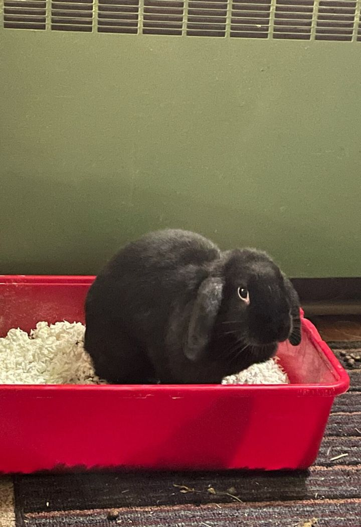 Midnight the Lop 1