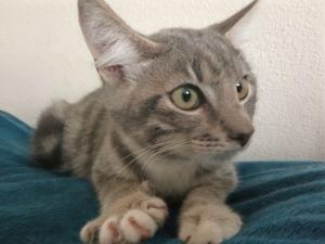 Shadow Tabby Cat
