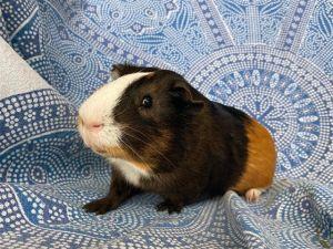BRUNO Guinea Pig Small & Furry