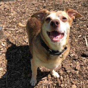 Rocky Terrier Dog