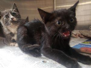 TITI Domestic Short Hair Cat