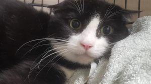 MISO Domestic Short Hair Cat