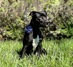 Hi Dixie is an incredibly smart puppy This puppy and litter mates are sweet outgoing goofy and