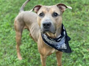TONY American Staffordshire Terrier Dog