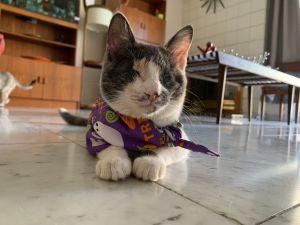 Gwendolyn Calico Cat