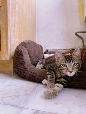 Fry Domestic Short Hair Cat