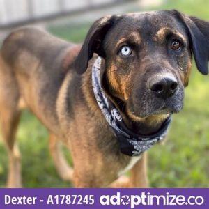 DEXTER German Shepherd Dog Dog