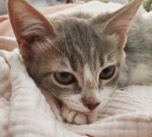 Mom Domestic Short Hair Cat
