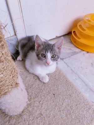 Amy Wong Domestic Short Hair Cat