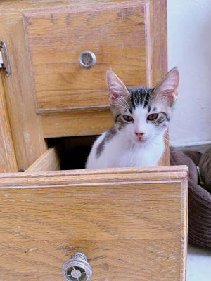 Elzar Domestic Short Hair Cat