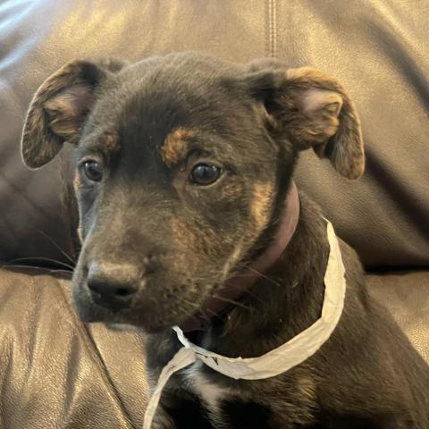 Bo, an adoptable Mountain Cur & Plott Hound Mix in Patterson, NY_image-1