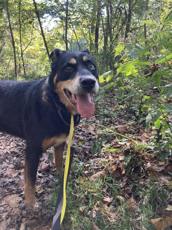 DJ, an adoptable Rottweiler & Husky Mix in Spencer, IN_image-2