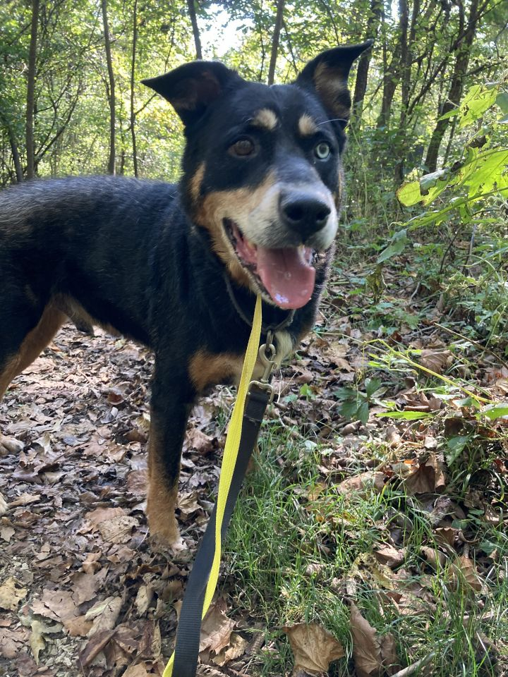 DJ, an adoptable Rottweiler & Husky Mix in Spencer, IN_image-5