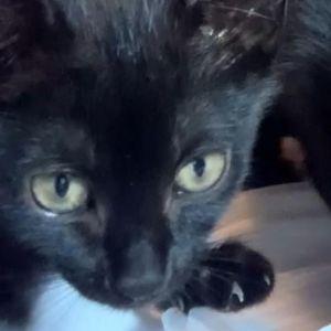 Hannah (Legion kittens)