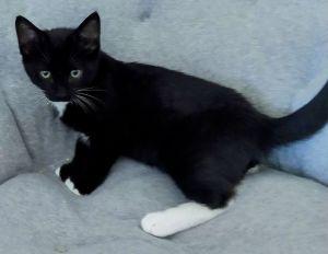 Hoover Domestic Short Hair Cat