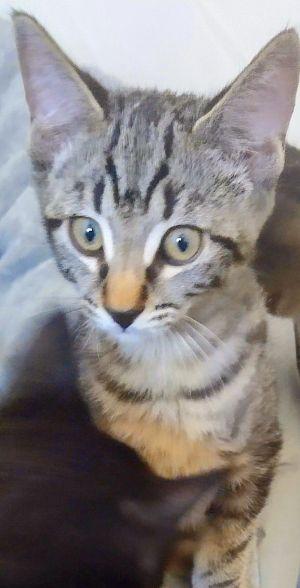 Dyson Domestic Short Hair Cat