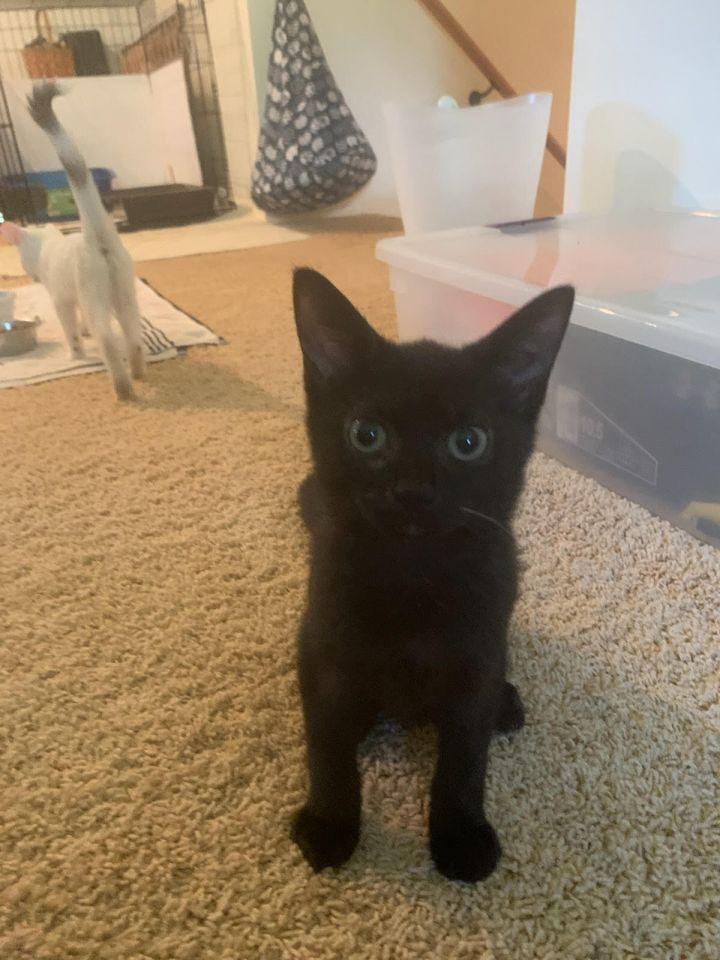 Petey (Legion kittens) 3