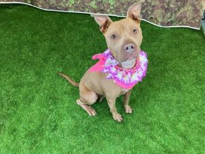 LOLA Staffordshire Bull Terrier Dog