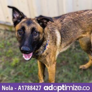 NOLA German Shepherd Dog Dog